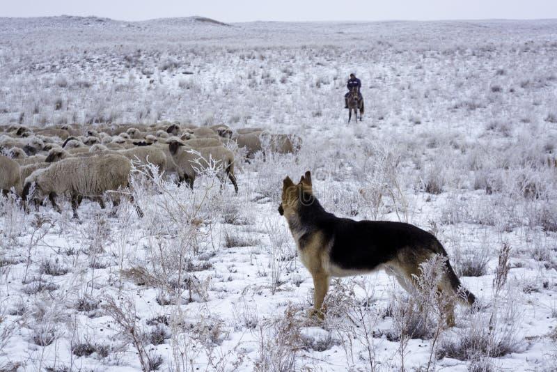 overwintering De wintermening in Balkhash stock foto's