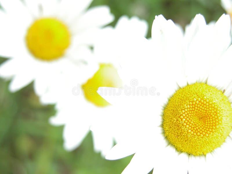 Overxposed daisies stock image