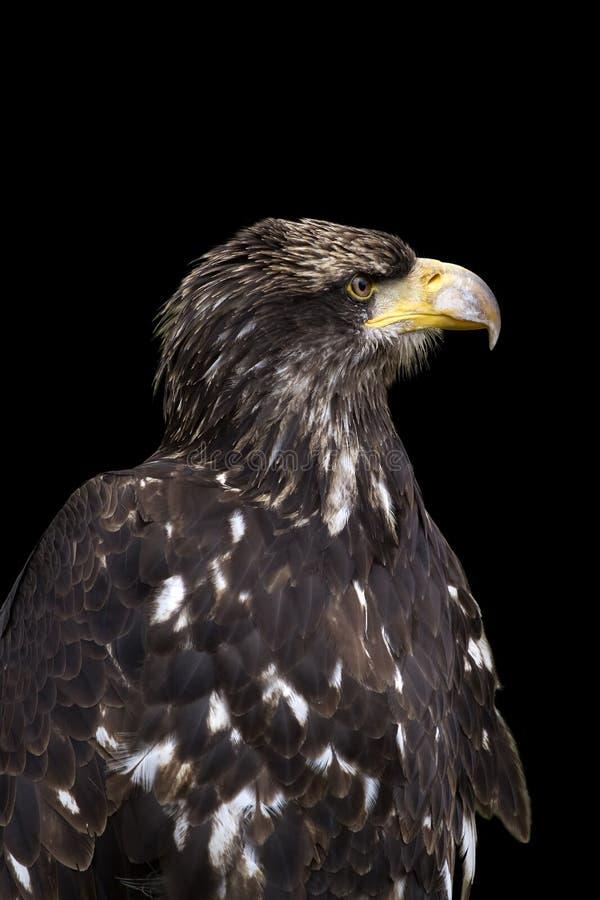 Overzees adelaarsportret royalty-vrije stock fotografie