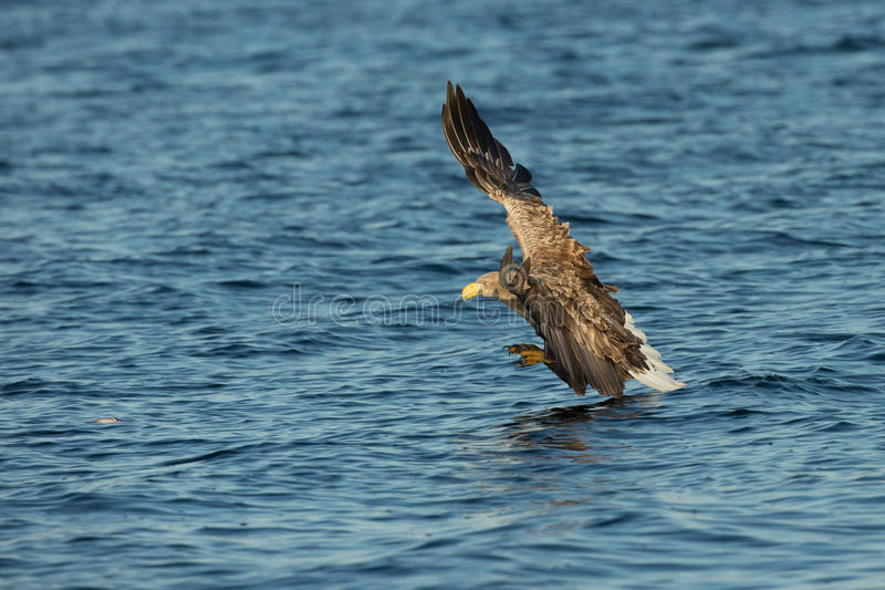 Overzees Eagle Hunting stock foto