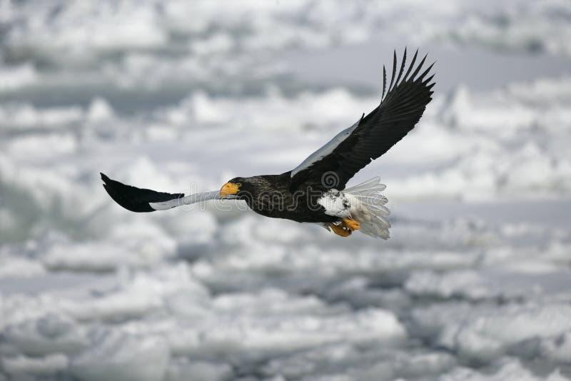 Overzees-Eagle van Steller, Haliaeetus-pelagicus stock foto's