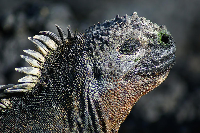 Overzees-leguaan, de Galapagos stock foto's