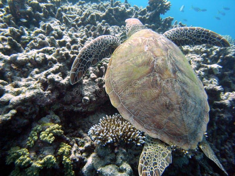 Overzees schildpad en koraalrif royalty-vrije stock foto