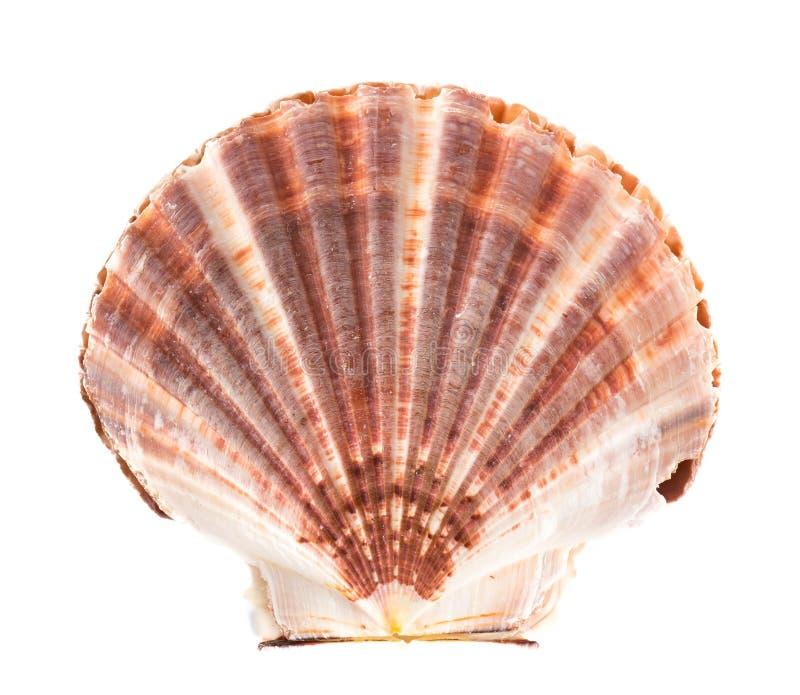 Overzees Shell op wit stock fotografie