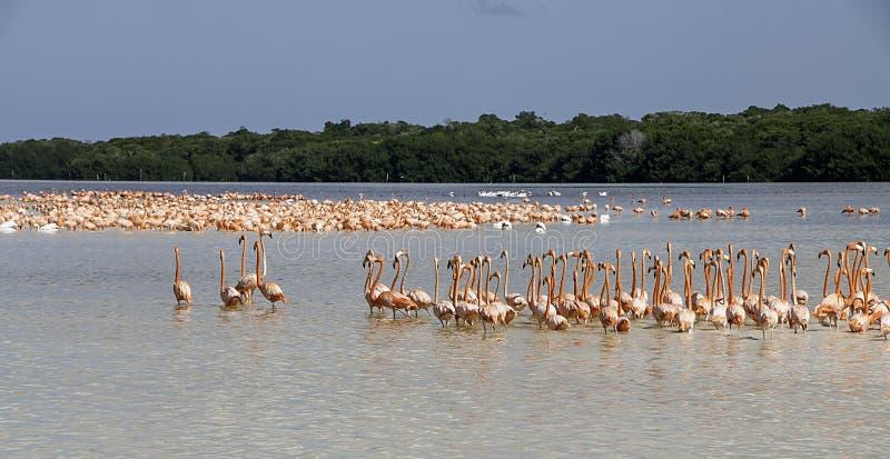Overzees van Flamingoes royalty-vrije stock foto's