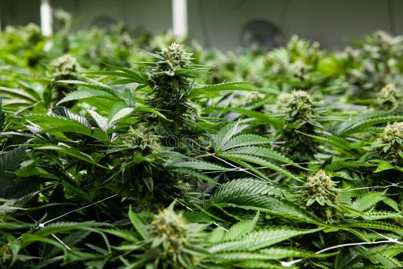 Overzees van groen - medische marihuana royalty-vrije stock fotografie