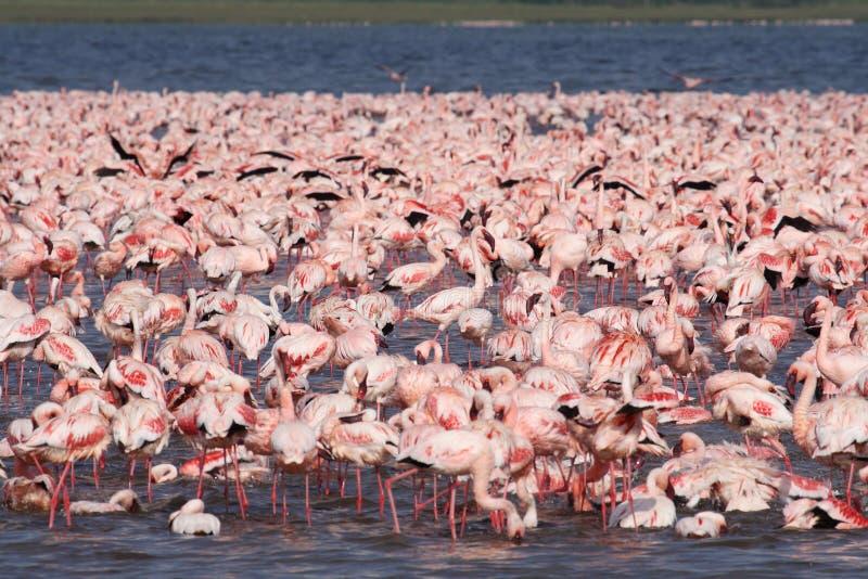 Overzees van roze flamingo's, Kenia stock afbeeldingen