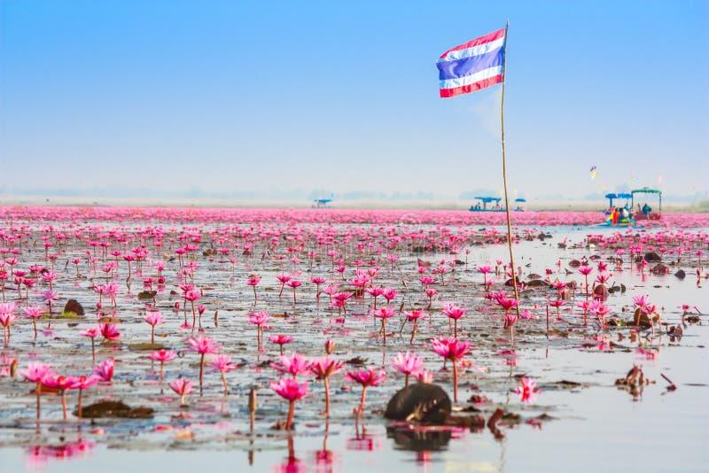 Overzees van roze lotusbloem, Nonghan, Thailand stock afbeeldingen