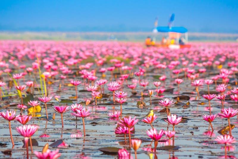 Overzees van roze lotusbloem, Nonghan, Udonthani, Thailand royalty-vrije stock foto