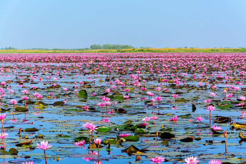 Overzees van roze lotusbloem in Udon Thani, Thailand stock foto