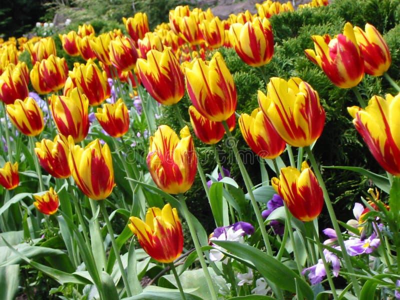 Overzees van Tulpen stock foto