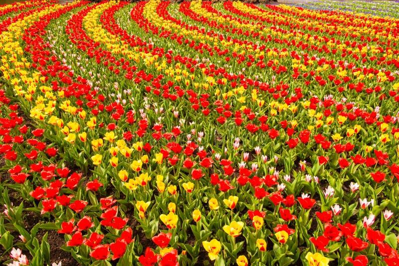 Overzees van Tulpen stock fotografie