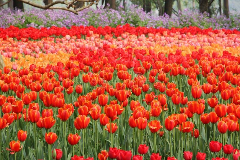 Overzees van tulpen in nationaal park royalty-vrije stock afbeeldingen