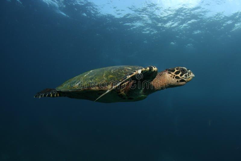 Overzeese †schildpad ‹â€ ‹ stock afbeelding