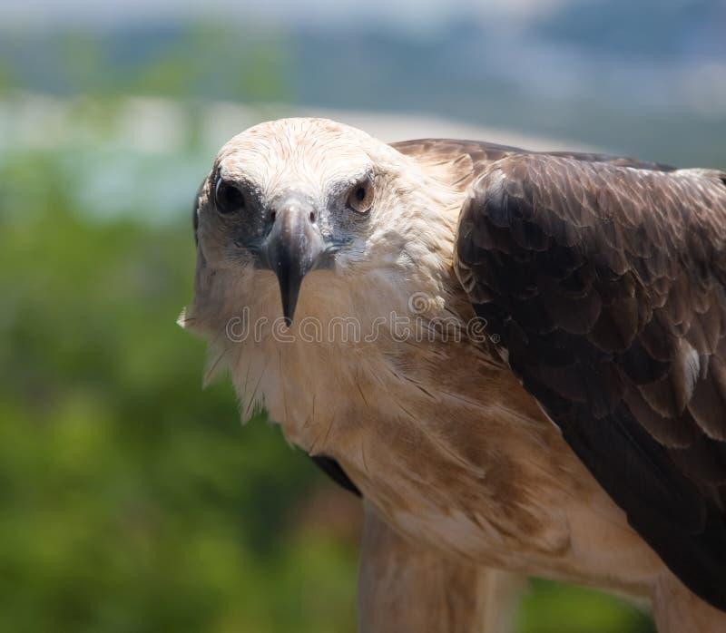 Overzeese adelaar royalty-vrije stock fotografie