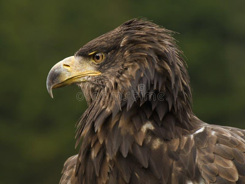 Overzeese adelaar royalty-vrije stock foto's