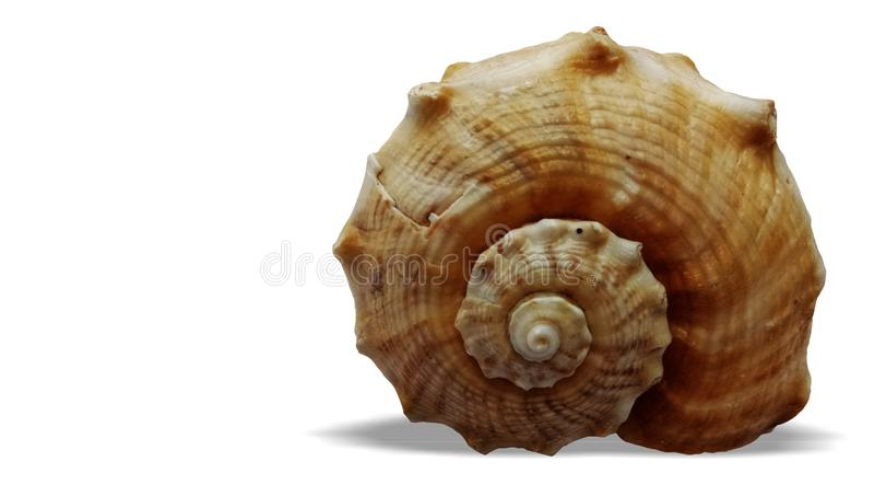 Overzeese die shell op witte achtergrond wordt ge?soleerd stock fotografie