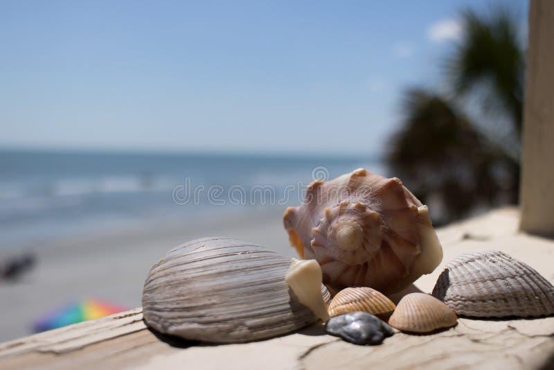 Overzeese die shells dichtbij Tuinstad wordt gevonden, NC royalty-vrije stock afbeelding
