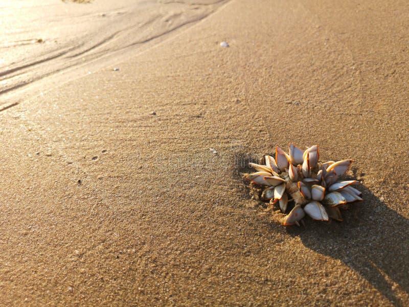 Overzeese eendenmossel op het zand dat het licht in goud be?nvloedde stock afbeelding
