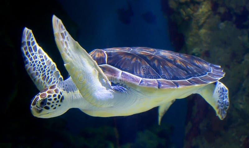 Overzeese Groene Schildpad die langs glijden royalty-vrije stock foto