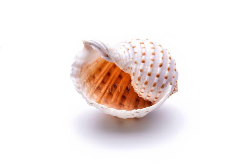 Overzeese natuurlijke shell, origineel patroon van het mariene leven stock illustratie