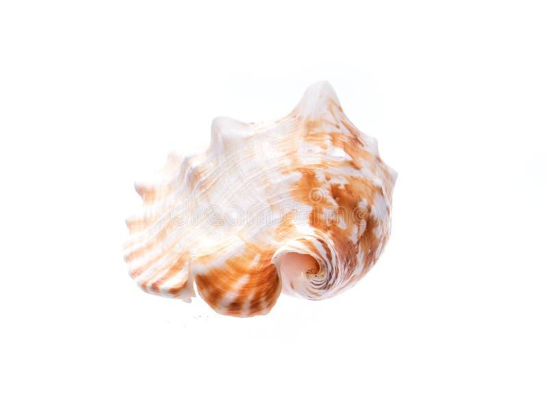 Overzeese natuurlijke shell, origineel patroon van het mariene leven royalty-vrije stock afbeelding