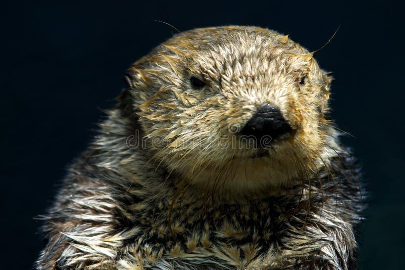 Overzeese Otter royalty-vrije stock foto