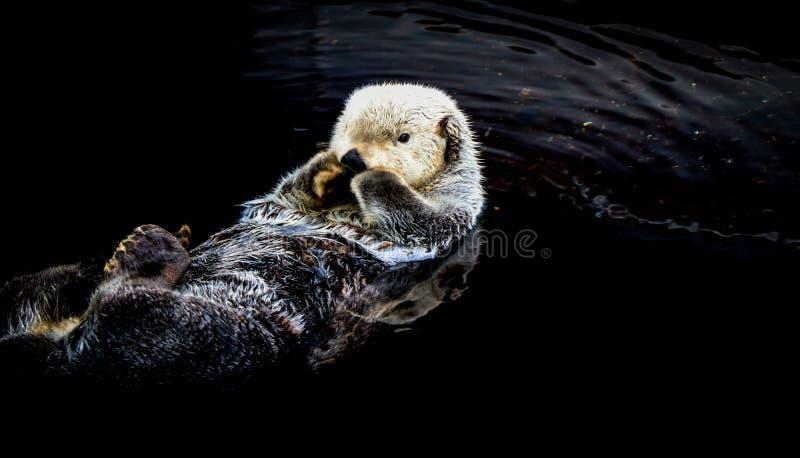 Overzeese otter die in het water drijven stock foto