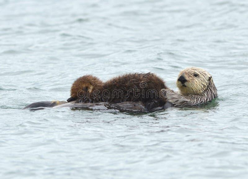 Overzeese ottermoeder met aanbiddelijke baby/zuigeling in de kelp, grote su royalty-vrije stock afbeelding