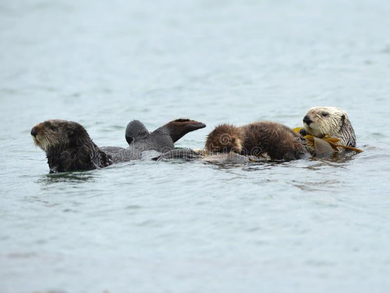 Overzeese ottermoeder met baby en mannelijke, grote sur, Californië, de V.S. royalty-vrije stock fotografie