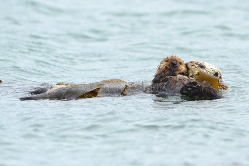 Overzeese ottermoeder met baby in kelp, grote sur, Californië royalty-vrije stock afbeeldingen