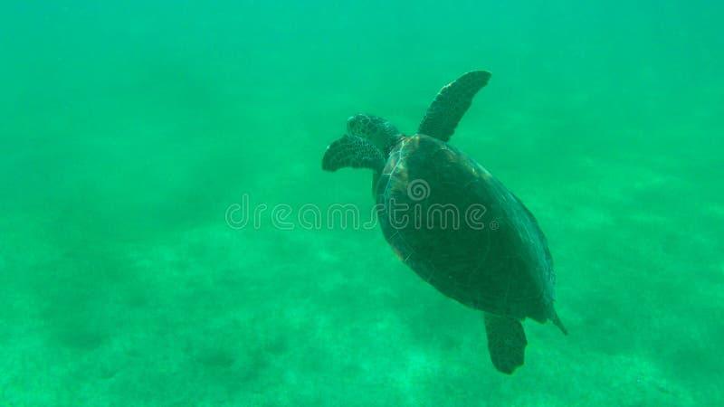 Overzeese schildpad royalty-vrije stock afbeelding