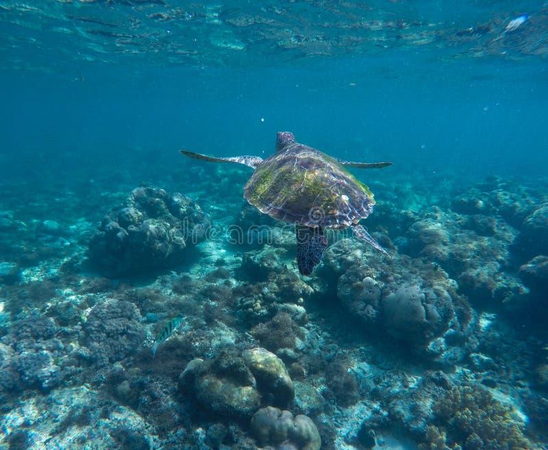 Overzeese schildpad in blauw water Oceaanecosysteem - koraalrif, tropische vissen, zeeschildpad royalty-vrije stock fotografie