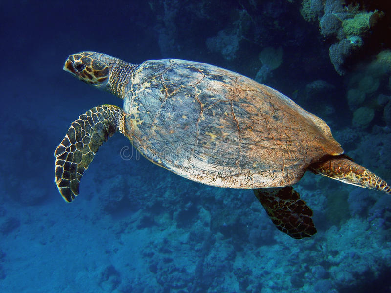 Overzeese Schildpad (caretta Caretta) stock afbeeldingen