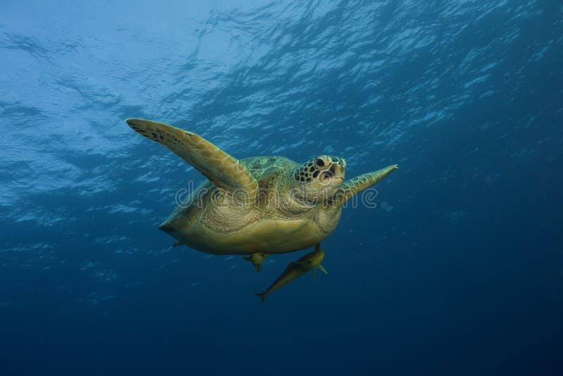 Overzeese schildpad die in oceaan zwemt royalty-vrije stock afbeelding