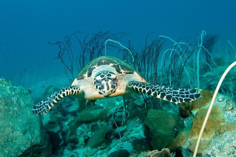 Overzeese schildpad onderwater stock fotografie