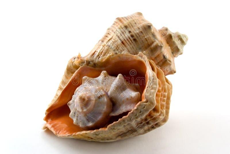 Overzeese Shell Gratis Stock Afbeeldingen