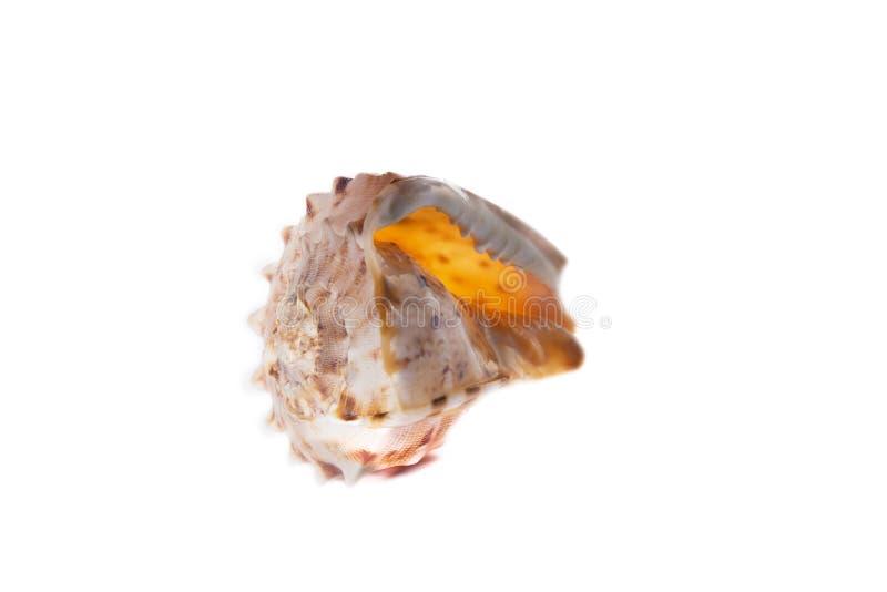 Overzeese shell die op een witte achtergrond wordt geïsoleerde royalty-vrije stock afbeelding