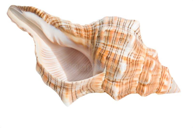 Overzeese shell die op wit wordt geïsoleerda royalty-vrije stock afbeelding