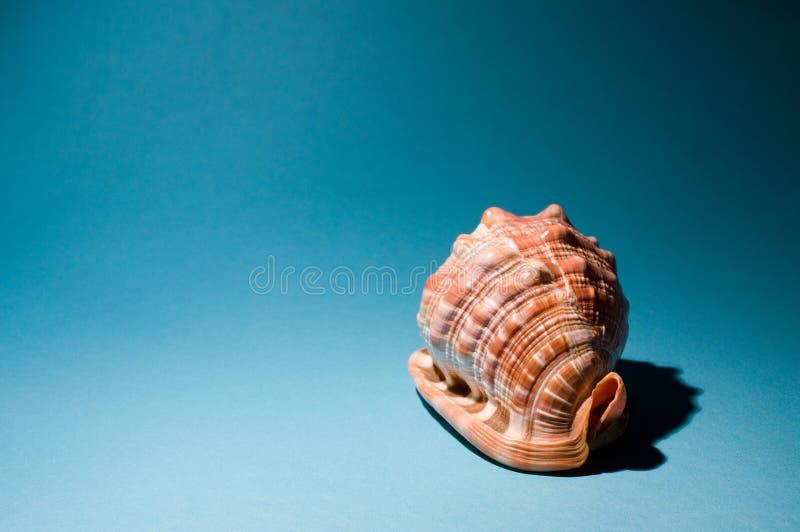 Overzeese shell op blauw - rechterkant stock afbeelding