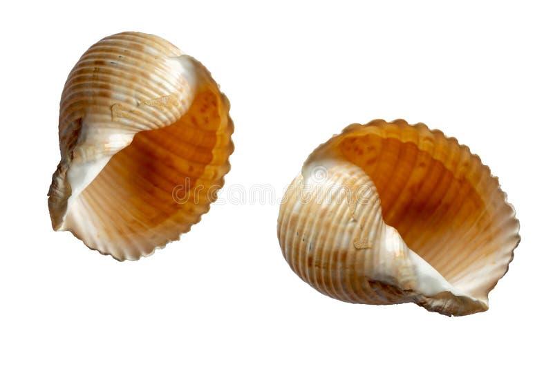 Overzeese shell op de witte achtergrond royalty-vrije stock foto's