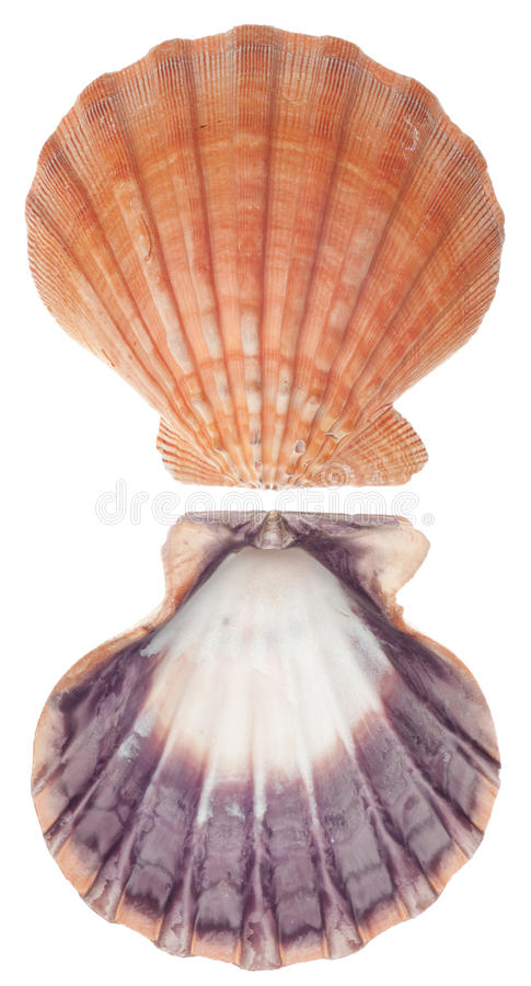 Overzeese Shell Voorzijde en Rug stock afbeeldingen
