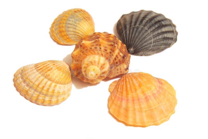 Overzeese Shells op het wit stock foto's
