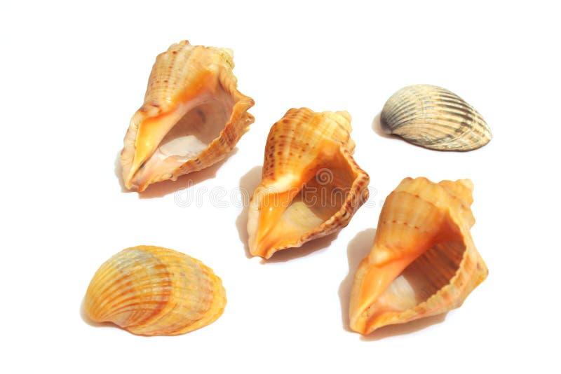 Overzeese Shells op het wit royalty-vrije stock foto