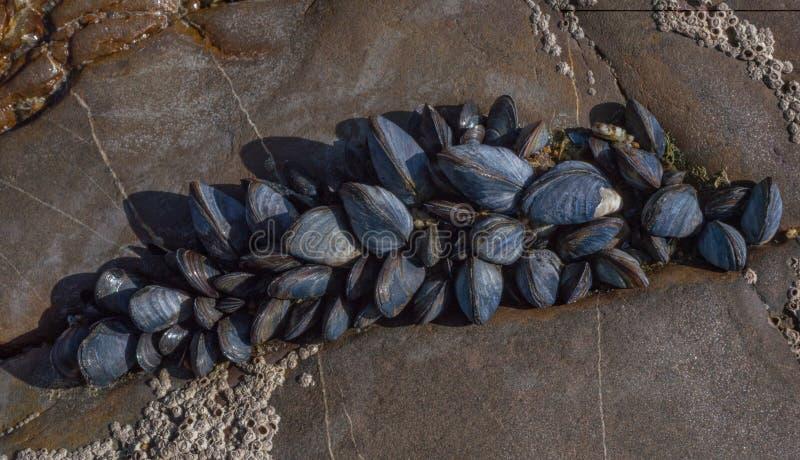 Overzeese spieren op rotsen stock afbeelding