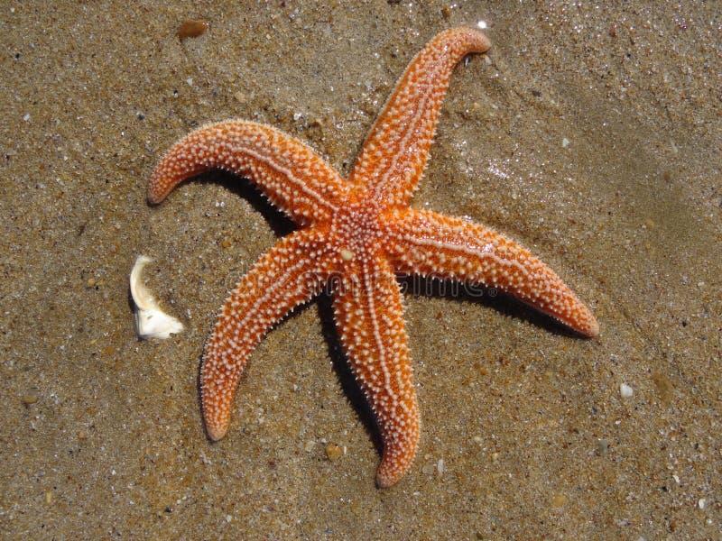 Overzeese ster op het strand royalty-vrije stock afbeelding