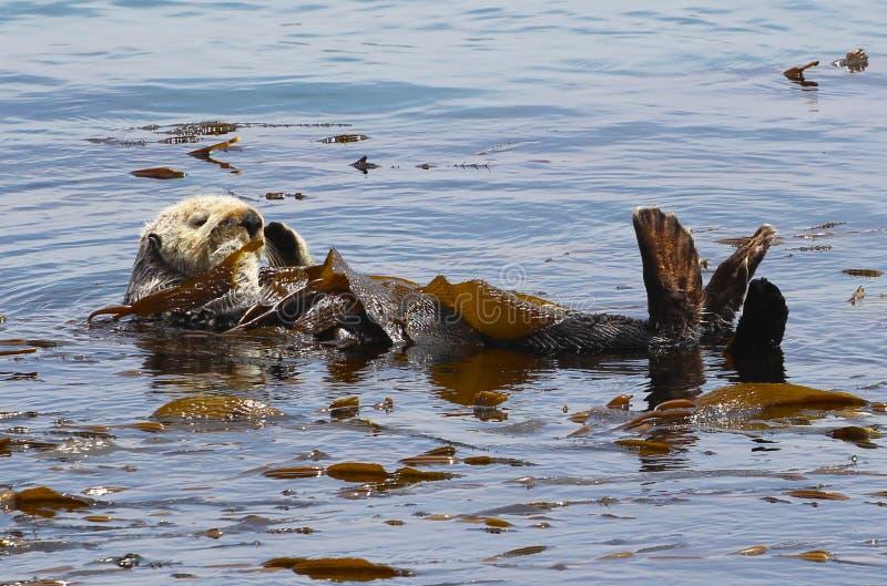 Overzeese van Californië otter royalty-vrije stock foto