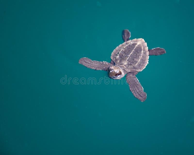 Overzeese van de baby Schildpad royalty-vrije stock fotografie