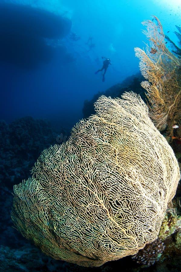 Overzeese van Gorgonian ventilator en duiker stock foto