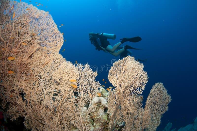Overzeese van Gorgonian ventilator en scuba-duikers royalty-vrije stock fotografie
